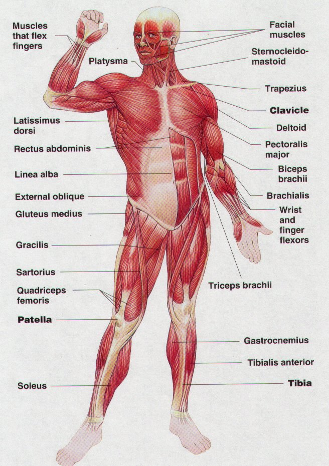 Muscles of the body interactive